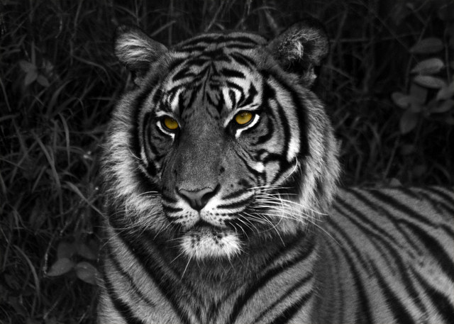 Sumatran Tiger (Photo Sophia de Crespigny)