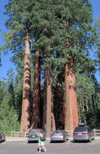 Hydraulics - How does the Sequoia tree (world's largest tree) pump water to the canopy 300' above the forest floor? Is there 8 atm of water pressure at the roots? Is the 300' tree height limited due to hydraulic pressure?